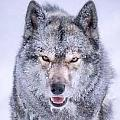 狼若回頭不是報恩就是