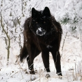 Wolf_Loeste