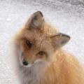 蘋果樹下的狐狸