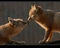 foxindark