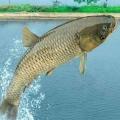 水庫工作魚