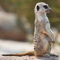 meerkat_standing