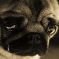 Melancholy Pug