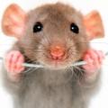 邁阿密老鼠隊