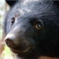 台灣黑熊哥
