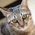 miaowcat