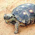 德州地鼠陸龜