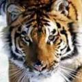 tiger1971