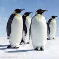 沉默的企鹅