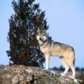 rovingwolf