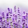 紫紅的薰衣草