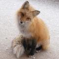 謎樣的狐狸
