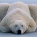 polarbearjorin