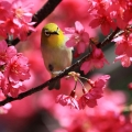 櫻花與綠繡眼