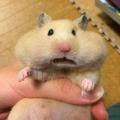 蒸籠裡的小倉鼠