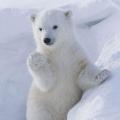 帥氣北極熊