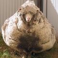 MaySheep 五月羊