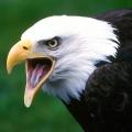 eagle25
